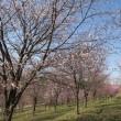 福島県北塩原村 桜と水芭蕉ほか 2018年4月21日