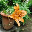 スカシユリ開花 コオニユリはまもなく ヤブミョウガ開花 クモノスシダが葉の先端に芽を出す。