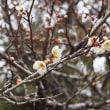 福寿草の群生を 早春の名取里山