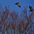 飛ぶ鳥を撮るのは難しいなぁ