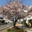 桜   もうすぐ満開です