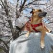 震災の保護犬・ランちゃんの巻