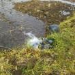 ホウチャクソウ咲き始め田圃に水