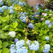 品川に咲く紫陽花