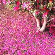 花彩々  山茶花の道