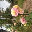 家庭菜園・園芸2017(7)  今年の園芸はバラ冬囲いで終了