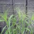 きりふき草