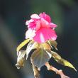 日本水仙咲く