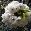 ベッケンナムの桜