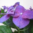 紫陽花(アジサイ)という花