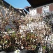 春が来た。甲子園にも、我が家にも。
