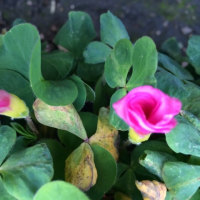 オキザリスの花