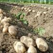12月の畑 (ジャガイモの収穫)