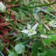 センブリの開花