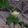 キカラスウリの花が咲いた