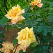 片山公園の薔薇
