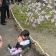 六義園の枝垂れ桜 満開!