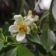 早くも梅雨時の花★イジュ(ツバキ科)/ ☆娑羅双樹の花の色、 盛者必衰の理をあらはす/ クロトンの花/ ★カキツバタ / ★アマリリス