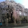 山梨の糸桜、今年も見事でした