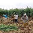 沖縄・鹿児島のサトウキビ農業と今後の方向性