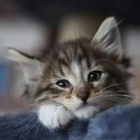 子猫のラガマフィン