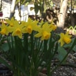 庭に春が来た