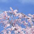 都心の郊外は春到来、英語に苦手な老ボーイの私でも、Spring has come、心の中で呟(つぶや)き・・。