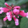 ローズリーフセージの花は不思議