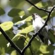 今日の鳥 コサメビタキ  エゾリス 久し振りのエゾリス