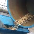 「育てよう!みそ汁」第3回 大豆の収穫