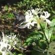 庭に咲いた白花曼珠沙華