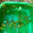 ちょっとだけ庭仕事・挿し木の鉢上げ