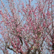 藤野園の梅