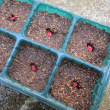 二回目のスイートコーンの種を蒔きました。