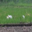 近くの田んぼで、アマサギに出会った。