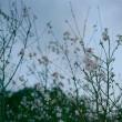 ムラサキセンブリの丘を下る  十月桜        2018.11.02.(5)