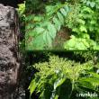 森の宝石オオミドリシジミの復活。あんずの収穫の季節。オオムラサキ初見(妻女山里山通信)