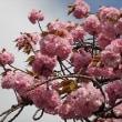 通勤途中の八重桜♪