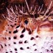 タコクラゲの幼体!