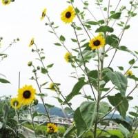 ヒマワリ・大雪山(シロタエヒマワリ)とスーパーバアチャン