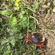 I found a river crab.