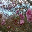 ☆ボタン桜はこれからが見頃です♪☆