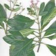 『J・ジュシューが採取した植物』 (1)キナノキ