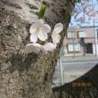 端午の節句と鯉のぼりそして今年の桜