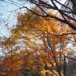 赤城山 / 前橋市 - 赤城森林公園 たぶんラストな楓の紅葉