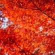 紅葉(Autumn leaves)