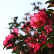 霜月十六日、山茶花―everlasting