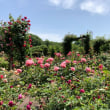 花フェスタ記念公園*春のバラまつり