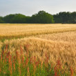 秘密の麦畑