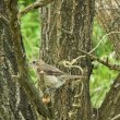 モズの幼鳥、田園の鳥たち